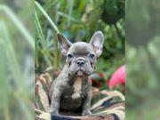 Französische Bulldogge Welpen Blue oder