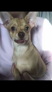 Junger Chihuahua