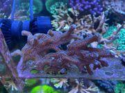 Meerwasser Ableger Korallen Seriatopora SPS
