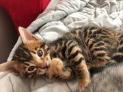 Bengal Kitten - Junge
