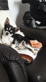 Mini Chihuahua Deckrüde mit Ahnentafel