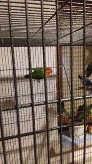 Verkaufe 6 klein Papagein unzertrennlich