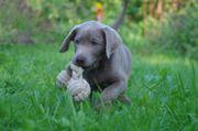 Labrador-Welpen mit Papieren silber champagner