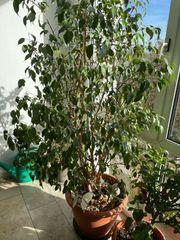 Großer alter Ficus Benjamina sucht