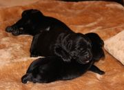 Bildhübsche Labradorwelpen in schwarz suchen