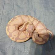 königspython Banana Pastel 1 0