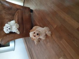 Mini Malteser-Havaneser Mix: Kleinanzeigen aus Herten Disteln - Rubrik Hunde