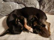 Mini Toy Terrier Prager Rattler