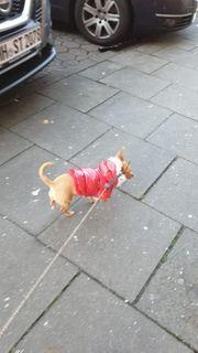 Chihuahua Hündin 1 jahr sehr