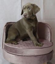 Labrador Welpen in Silber mit