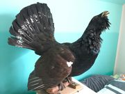 Vogel ausgestopft Präparat