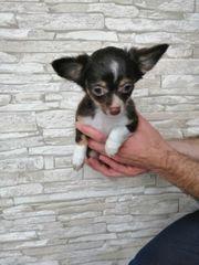 3 Langhaar Chihuahua Welpen chocolate
