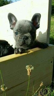 Französische Bulldoggen Welpe in Blue