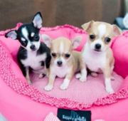 Chihuahua Welpen kostenlos