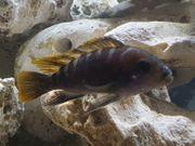 Aquarium-Malawibecken Labidochromis Mbamba Bay