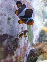Meerwasser Clownfisch Pärchen Aquarium
