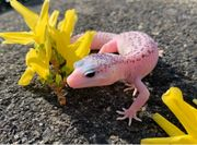 Super Galaxy Herr Leopardgecko