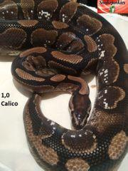 Königspython Männchen Calico Adult