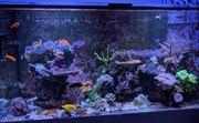 SPS Meerwasser Aquarium