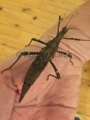Philippinische Gespenstschrecken highland Weibchen adult