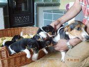 Schöne Jack-Russell- Terrier Welpen in