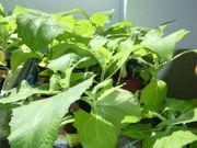 Yacon - Inkawurzel - Smallanthus - Jungpflanze ca