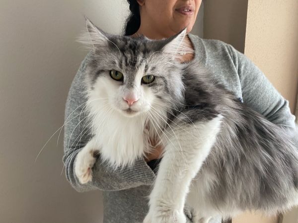 Maine Coon Deckkater Snoopy
