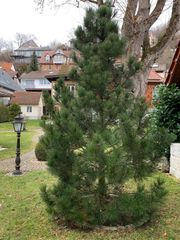 Pinienbaum aus Baumschule