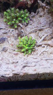 Entacmaea sp grüne Mini-Anemone