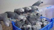 grau papageien