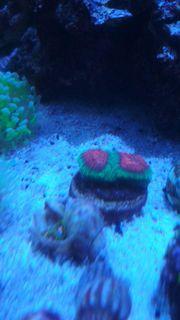 Diverse Korallen Meerwasser Anemone Acanthastrea