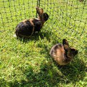 Kaninchen Japaner