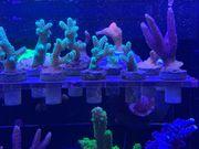 Korallen Einsteiger Paket