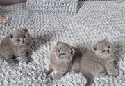 Wunderschöne BKH Kätzchen mit exzellentem