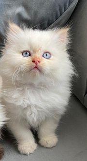 Sehr Hübscher Perser Kitte