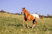 Pony Of America zu Verkaufen