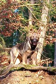 Deutsche Schäferhund Welpen m P