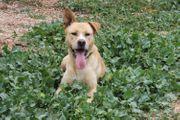 Labrador Mix Rüde sucht Zuhause