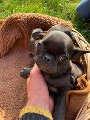 Frops Frenchie Pug französische Bulldogge