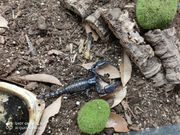 Heterometrus spinifer Zuchtpaar abzugeben