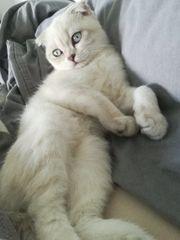 British Kurzhaar Scottish Fold Kitten -