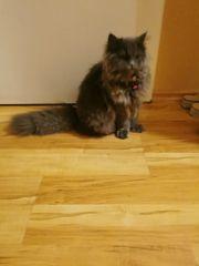 britische longhair Katze