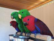 jungen Edel Papageien mit Käfig