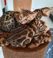 Sofort Abgabebereit reinrassige Bengal Kitten