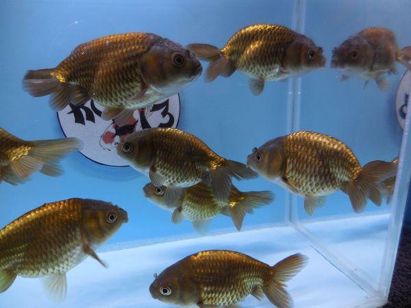 KOI 13 Anz 99 2020 Goldfisch -
