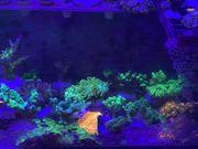 Korallen Ableger Meerwasser viele Einsteigerkorallen