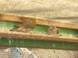 Vögel - Mexikanische Karmingimpel Vogel zuchtreife und