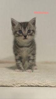 Bkh kitten Babykatzen