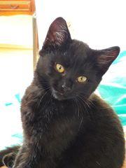 Russische schwarze katzenbaby