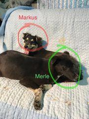 Merle - junge Hündin wartet genau